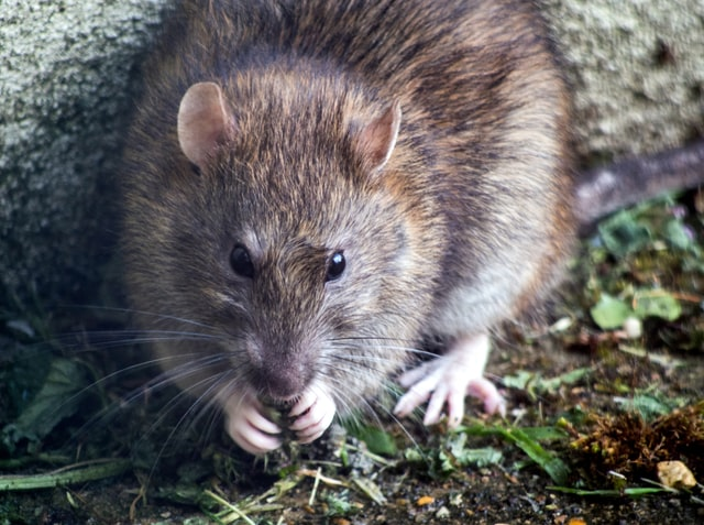 saber si tener ratas casa madrid